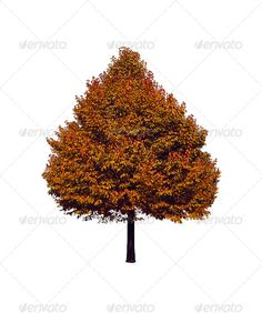 Isolated Ash-fall Tree on White Background