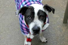 LIL J - A1099862 - - Manhattan  Please Share:TO BE DESTROYED 12/21/16 **ON PUBLIC LIST** A volunteer writes: The holidays are happiest when you're young. Lights shine brighter, hugs from family last longer, and the excitement of what lies inside those crinkled, metallic boxes is enough to keep young, tired eyes wide awake for weeks. When you're young life is like one of those boxes. It's beautiful and it's exciting. And though its contents may be a m