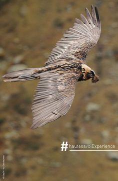 Un magnifique Gypaète barbu en vol ! #hautesavoie