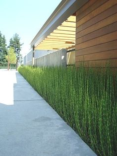 horsetail bamboo - Equisetum hyemale Grass for patio? Modern Landscaping, Backyard Landscaping, Landscaping Ideas, Mid Century Landscaping, Dream Garden, Home And Garden, Bamboo Plants, Bamboo Grass, Bamboo Fence