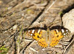 Painted lady - Vanessa cardui Linnaues 1758 - Sui bordi dello stagno di Sale Porcus - costa sud/sud-ovest - Nikon D700 con Nikon 200/400mm f/4 - iso 400 - focale 400mm #guidofrilli farfalla