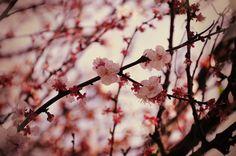 fiori di ciliegio- sakura