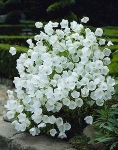 Campanula carpatica 'White Clips': Carpathian harebell