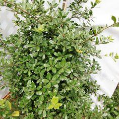「ウバメガシ」 苗木 1.2m程度