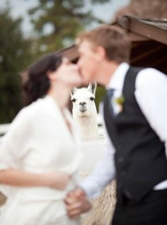 The moment that this llama realized he had missed his chance with the bride forever.
