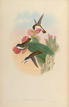 v. 5 - Una monografía del Trochilidae, o familiares de colibríes / - Biodiversity Heritage Library