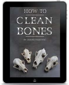 How to Whiten Animal Bones for Display (Step by Step with Pictures) - Mom Goes Camping Dog Skull, Skull Art, Horse Skull, Antler Crafts, Antler Art, Skull Decor Diy, Bone Crafts, Animal Bones, Young Animal