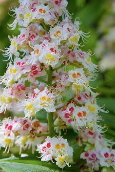 Horse chestnut Flowers look like spumoni ice cream on a stalk - pink and yellow and white blossoms! Definitely FLOWERS BEYOND EXPECTED - https://www.pinterest.com/DianaDeeOsborne/flowers-beyond-expected/ - Scientific botany name: Aesculus hippocastanum. RESEARCH #DdO:) - Only 6 of 19 species native to North America. Stalks on trees AKA buckeye. Rather poisonous: Native Indians threw seeds in water to stun & catch fish.  Pinned via Hatfield / milesizz.