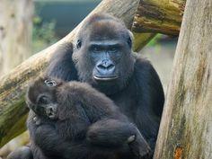 PETALI DI CILIEGIO ...per coltivare la speranza: In difesa degli animali: scimpanzé e e gorilla in ...
