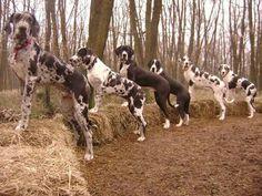 Great Dane Dogs