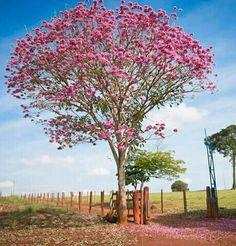 Ipê rosa. Campos Gerais, Minas Gerais BR. PLDM Mount Fuji, Planting Seeds, Cherry Blossom, Trees, Colorful, Japan, Spring, Amazing, Plants