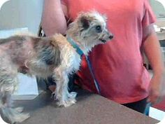 Plano, TX - Yorkie, Yorkshire Terrier/Parson Russell Terrier Mix. Meet PAPAW, a dog for adoption. http://www.adoptapet.com/pet/11532543-plano-texas-yorkie-yorkshire-terrier-mix