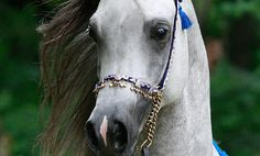 Kehilan Arabians breeders of Straight Egyptian Arabian Horses | Junior Stallions