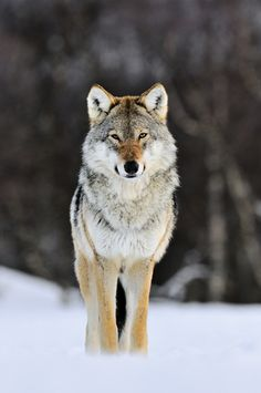 Gray wolves are legendary because of their spine-tingling howl. Although the largest members of the dog family, they have been hunted to near extinction.
