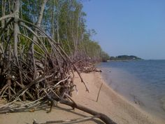 Mangrove Vegetation at Awur Bay