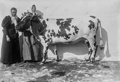 Cow glamour shots: Why Finnish cattle posed for pictures in 1899 Cow Photos, Poses For Pictures, Sweet Cow, Glamour Shots, World's Fair, Portrait Photographers, Portraits, Prado, Cattle