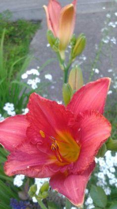 Sleigh Ride daylily