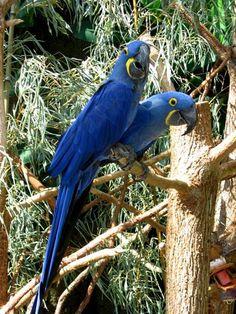 Guacamayo Jacinto o azul,en peligro de extinción