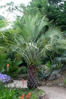 Bring Southern Warmth and Charm to Cooler Climates  -  Yearning to plant a southern Palm even though you're just north of the Mason Dixon line? Then warm up to the Pindo Palm. This date palm with the desert appeal can withstand the chilliest southern winters. It's been known to shrug off frigid temps below freezing—even as low as...