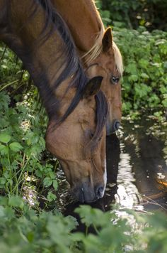 A Couple of Wild Mustangs Getting a Drink of Water at a Hidden Stream.