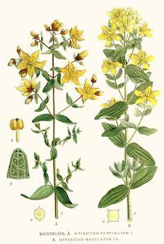 Hypericum perforatum - St John's Wort Antidepressant, Nervine tonic, antiviral, vulnery, antimicrobial (topicallly)