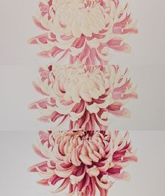 Japanese Chrysanthemum - Botanical Portrait on Behance