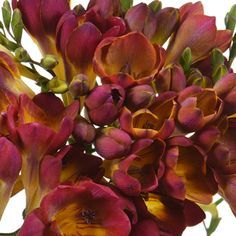 FiftyFlowers.com - Marsala Me Married Freesia Flower
