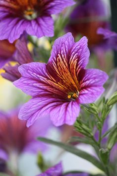 salpiglossis royale 2 by ~CASPER1830 on deviantART