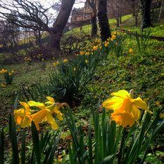 Happy St David's Day #stdavidsday #wales #bangoruniversity #bangoruni #bangor #portion #daffodil # park #spring #wales #northwales #gwynedd