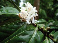 LE CAFÉ VERT. Pour lutter contre diabète et surpoids. Venu du Yemen ou d'Éthiopie, où des caféiers poussaient à l'état sauvage, le café fut d'abord un remède utilisé en décoction (de feuilles et de fruits) par les Arabes. Le caféier est un arbuste à fleurs blanches dont les petits fruits, en forme de cerises, mûrissent en 8 à 10 mois et deviennent rouges puis grenat...  | Rebelle-Santé