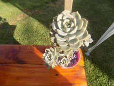 Fichas Plantas Suculentas y Cactus | Hoja | Tallo de la planta Cactus Y Suculentas, Birthday Candles, Tips, Plant Stem, Types Of Succulents, Container Gardening, Leaves, Index Cards, Gardens