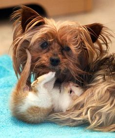 A mother's love: Yorkie adopts kitten