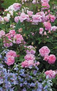 David Austin roses are the real deal - disease-resistant, old-fashioned roses from England.