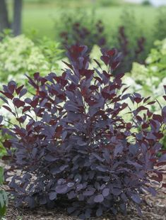 Winecraft Black is a semi-dwarf smokebush with black-purple foliage that darkens as the season goes on. showy red smoke-like blooms appear in early to mid-summer on a plant that is hardy for zones Winecraft Black is also rabbit and deer resistant! Plants, Foliage, Garden Shrubs, Foliage Plants, Trees And Shrubs, Shrubs, Unusual Plants, Garden Plants, Landscaping Plants