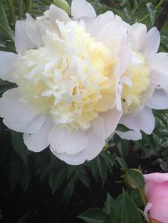 This one of my favourite peonies - Paeonia lactiflora 'Duchesse de Nemours' which has an Award of Garden Merit from the RHS.  It will tolerate full sun or partial shade where it will achieve a height and spread of 0.5-1m in 2-5 years.