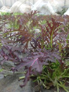 Salad leaf from Ikoro Farm.