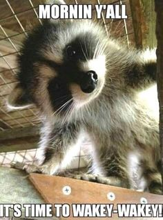Baby Raccoon I Love Animals Cute Baby Animals Cute Baby Raccoon, Cute Raccoon, Nature Animals, Animals And Pets, Strange Animals, Wild Animals, Cute Baby Animals, Funny Animals, Funny Horses
