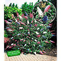 BALDUR-Garten Sommerflieder 'Papillion Tricolor' Buddleia, 1 Pflanze Buddleja davidii