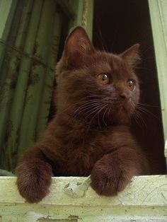 British shorthair cinnamon kitty