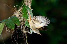 Foto maria-leque (Onychorhynchus coronatus) por Silvia Faustino Linhares | Wiki Aves - A Enciclopédia das Aves do Brasil