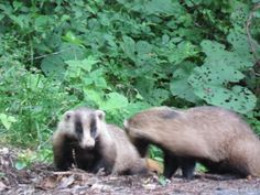 """The image is a Japanese badger which is called """"anaguma or アナグマ"""" in Japanese."""