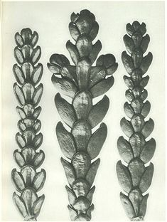 Art forms in nature prints by Karl Blossfeldt Karl Blossfeldt, Natural Form Art, Natural Structures, Nature Artists, Patterns In Nature, Organic Patterns, Art For Art Sake, Antique Photos, Botanical Illustration