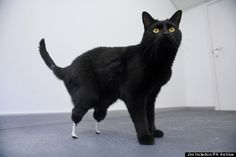 Oscar the cat lost his hind legs after a nasty encounter with a farm machine. Instead of being put down, Oscar was outfitted with artificial paws :)