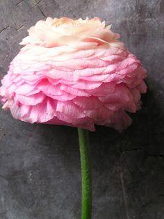 Ranunculus...Persian Buttercup