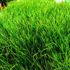 A walk in the Market - Wheat Grass at Natures Naturals Booth# 035 #nature #natural #wheatgrass #monkeysfunkygreens #freshandhearty #fresh #healthy #healthyfood #microgreens #supergreens #healingplants  #medicinalherbs #foodie #community #supportlocal #buylocal #broward #hollywoodfl #yellowgreenfarmersmarket #freshandhearty by ygfarmersmarket