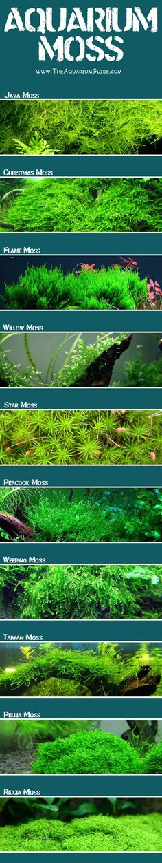 There are many different types of aquarium moss with a variety of different uses. This guide provides information of 10 common aquarium moss. Planted Aquarium, Aquarium Nano, Aquarium Terrarium, Nature Aquarium, Home Aquarium, Aquarium Design, Aquarium Fish Tank, Jellyfish Aquarium, Terrarium Ideas