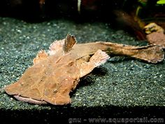 Chaca bankanensis Weird Creatures, Sea Creatures, Beautiful Fish, Animals Beautiful, Community Fish Tank, Small Catfish, Pleco Fish, Aquarium Catfish, Monster Fishing