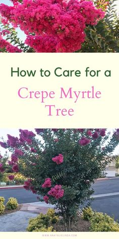 Learn how to care for a crepe myrtle tree! They look beautiful in both landscapes, backyards and front yards, plus they thrive in full sun and they're drought-tolerant! Crepe Myrtle Bush, Crepe Myrtle Trees, Full Sun Shrubs, Full Sun Perennials, Crepe Myrtle Landscaping, Front Yard Landscaping, Landscaping Design, Bush Garden, Lawn And Garden