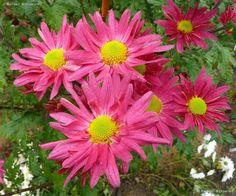 Chrysanthemum 'Uri'