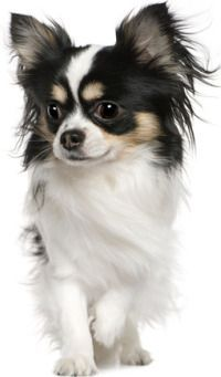 Longhair Chihuahua #chihuahuadaily #teacupdogs #teacupchihuahua